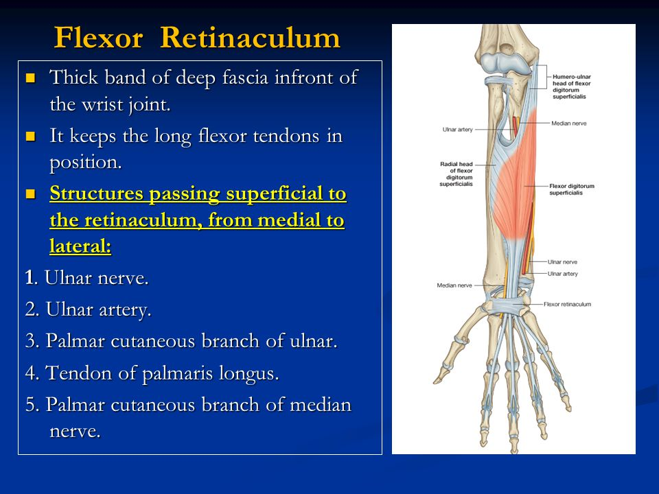 Flexor Retinaculum Thick band of deep fascia infront of the wrist joint. It keeps the long flexor tendons in position.