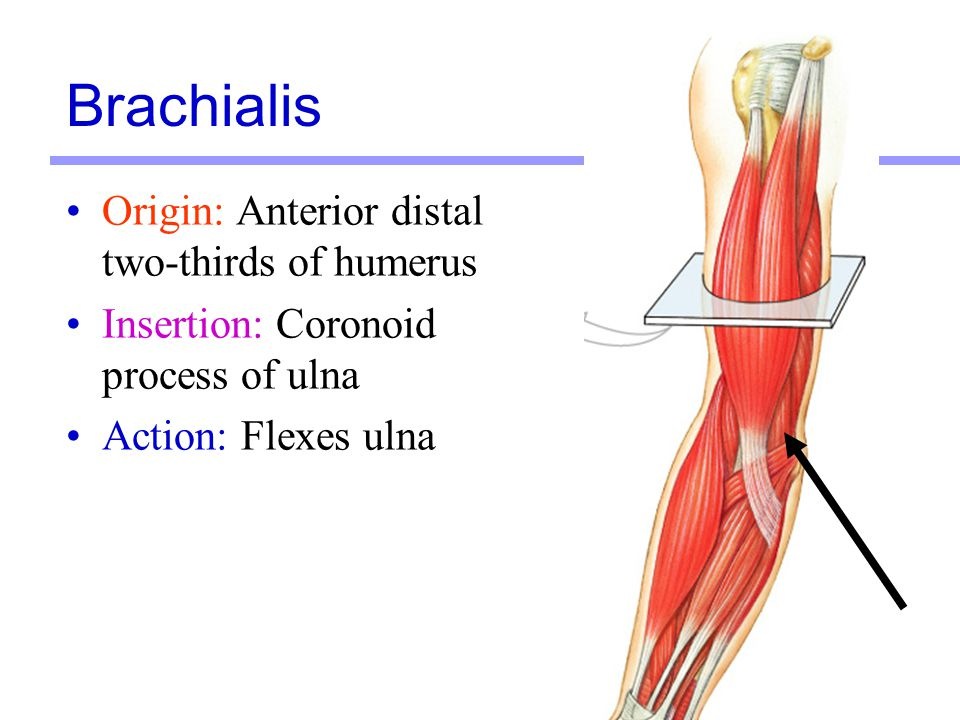 Brachialis Origin: Anterior distal two-thirds of humerus