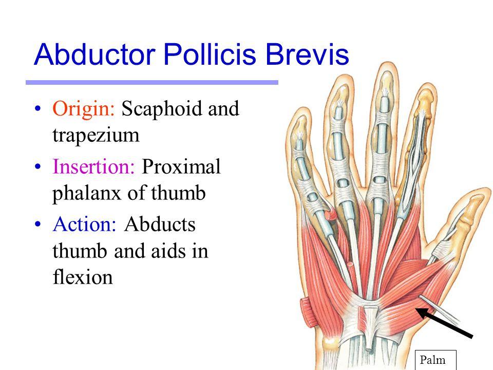 Abductor Pollicis Brevis