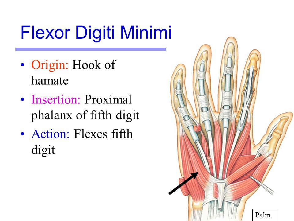Flexor Digiti Minimi Origin: Hook of hamate