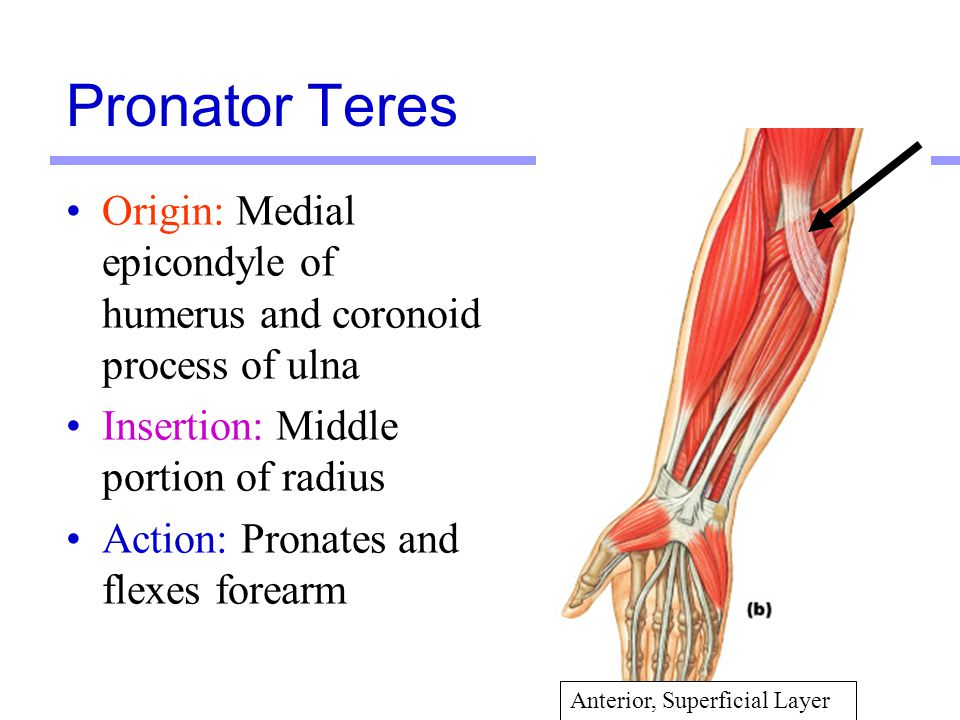 Pronator Teres Origin: Medial epicondyle of humerus and coronoid process of ulna. Insertion: Middle portion of radius.