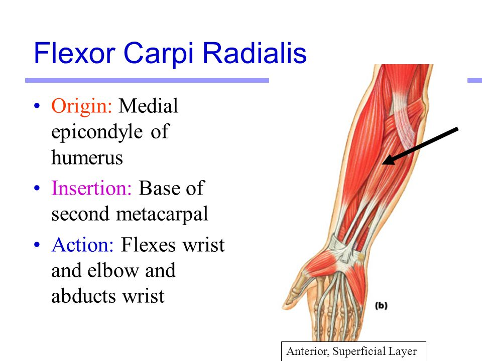 Flexor Carpi Radialis Origin: Medial epicondyle of humerus