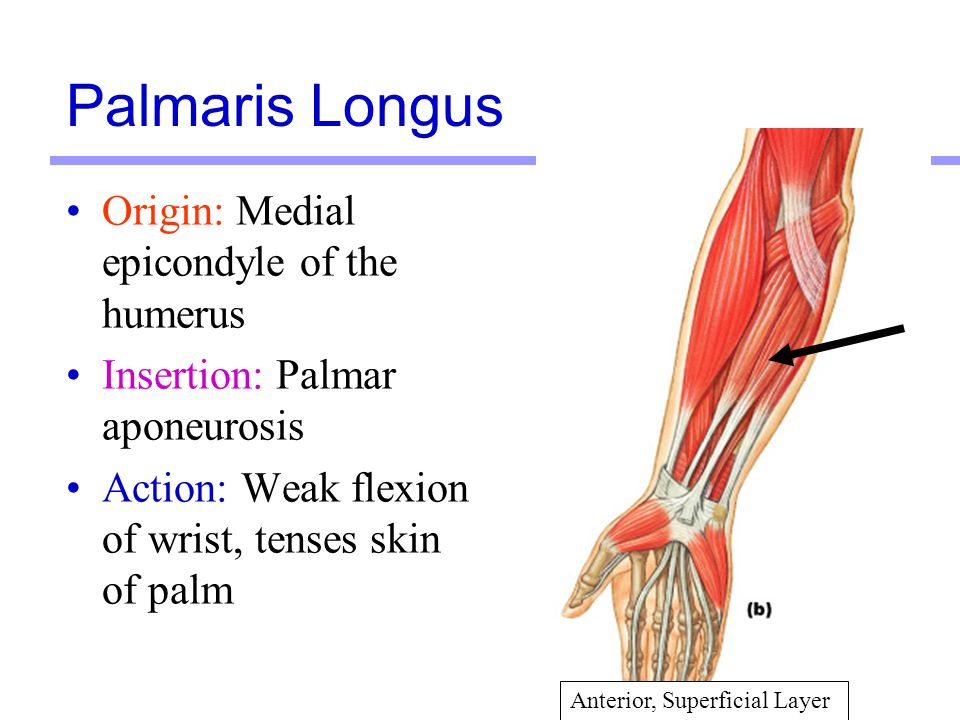 Palmaris Longus Origin: Medial epicondyle of the humerus