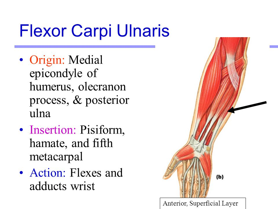 Flexor Carpi Ulnaris Origin: Medial epicondyle of humerus, olecranon process, & posterior ulna. Insertion: Pisiform, hamate, and fifth metacarpal.