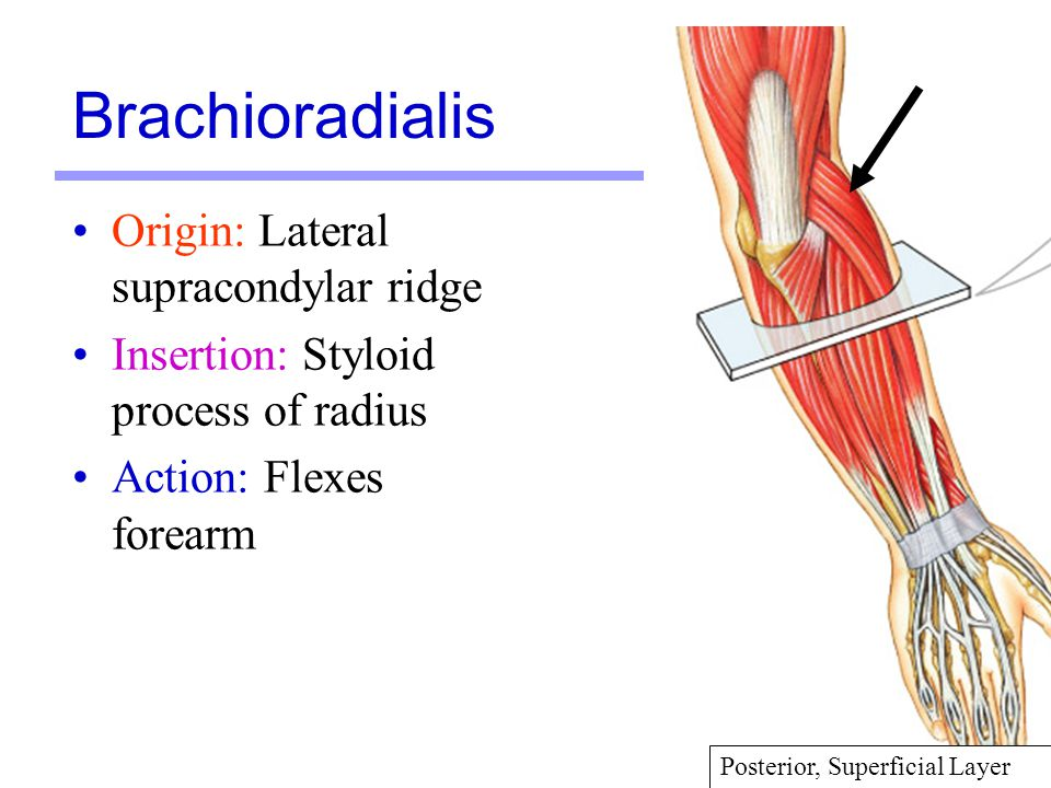 Brachioradialis Origin: Lateral supracondylar ridge