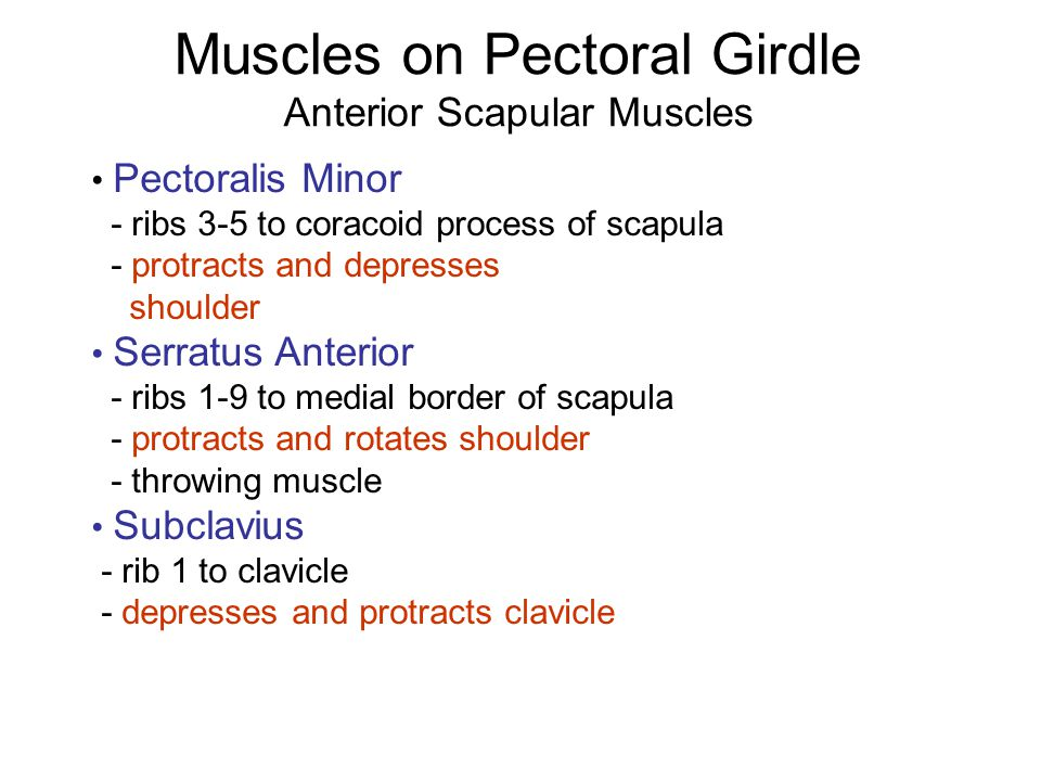 Muscles on Pectoral Girdle Anterior Scapular Muscles