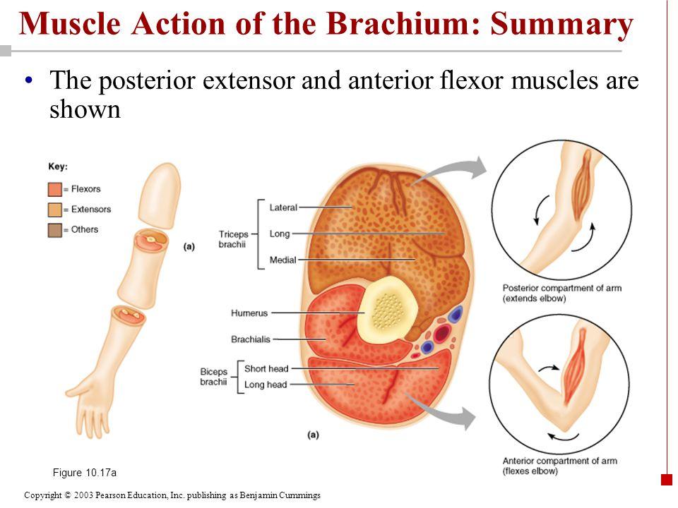 Muscle Action of the Brachium: Summary
