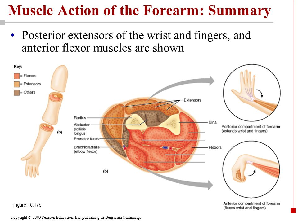 Muscle Action of the Forearm: Summary