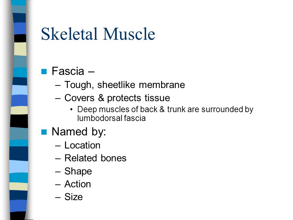 Skeletal Muscle Fascia – Named by: Tough, sheetlike membrane