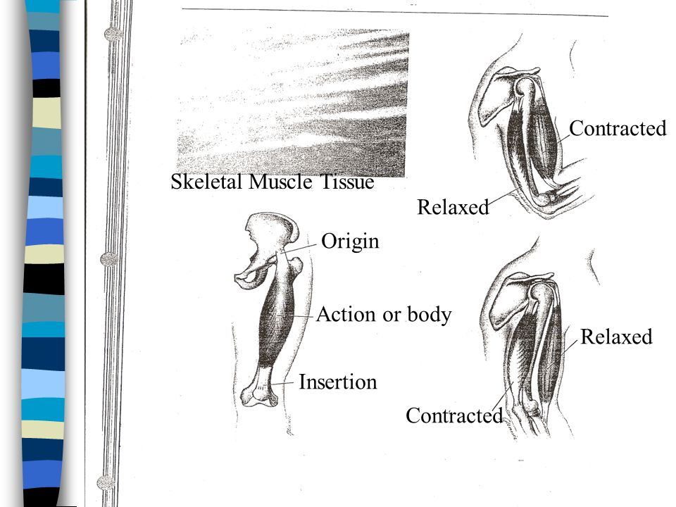 Contracted Skeletal Muscle Tissue Relaxed Origin Action or body Relaxed Insertion Contracted