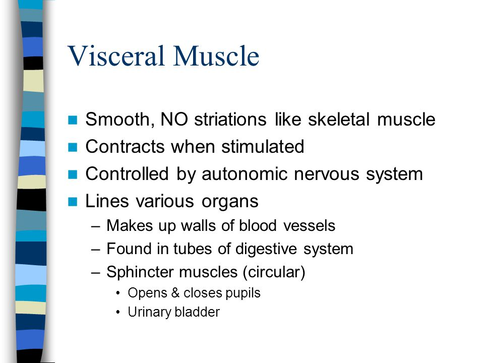 Visceral Muscle Smooth, NO striations like skeletal muscle