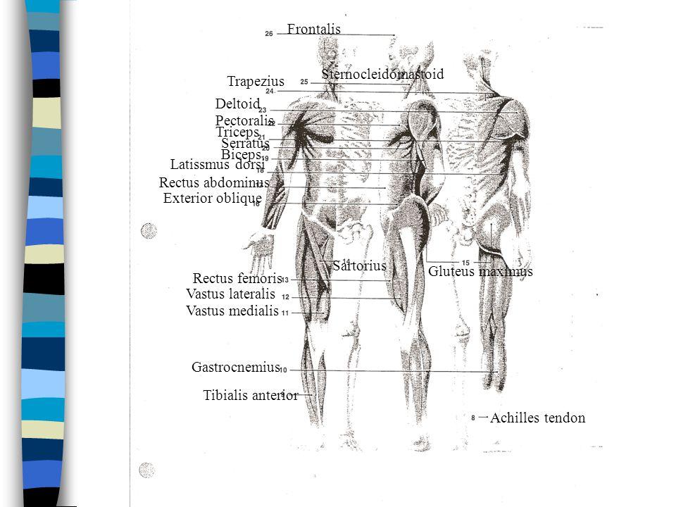 Frontalis Sternocleidomastoid. Trapezius. Deltoid. Pectoralis. Triceps. Serratus. Biceps. Latissmus dorsi.