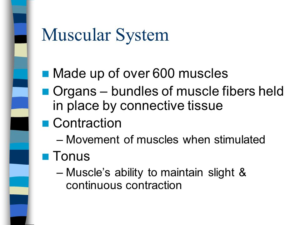Muscular System Made up of over 600 muscles