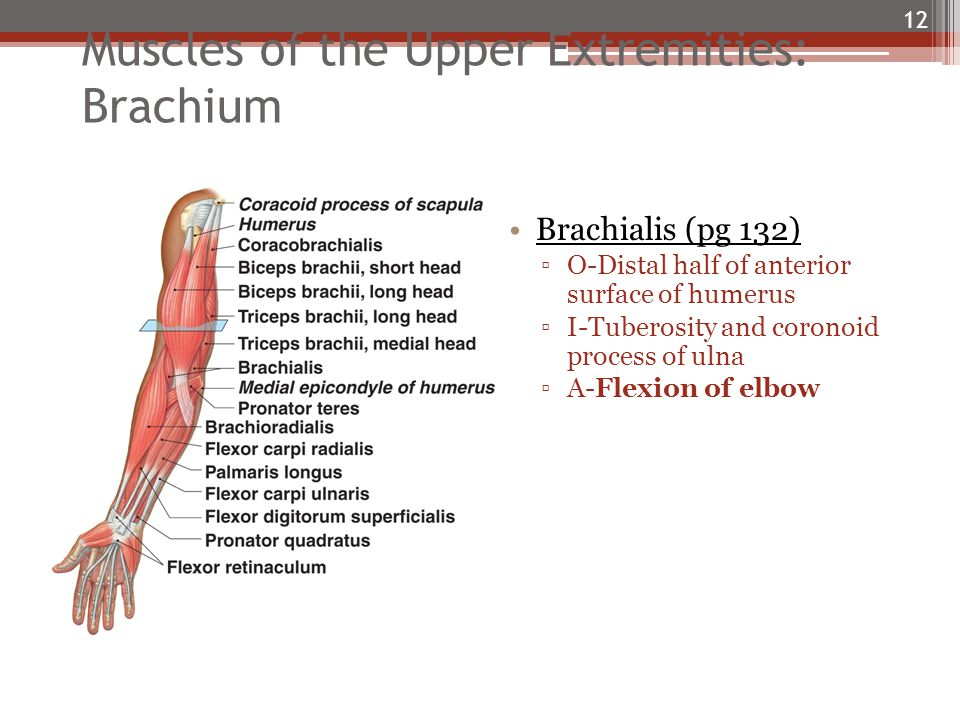 Muscles of the Upper Extremities: Brachium