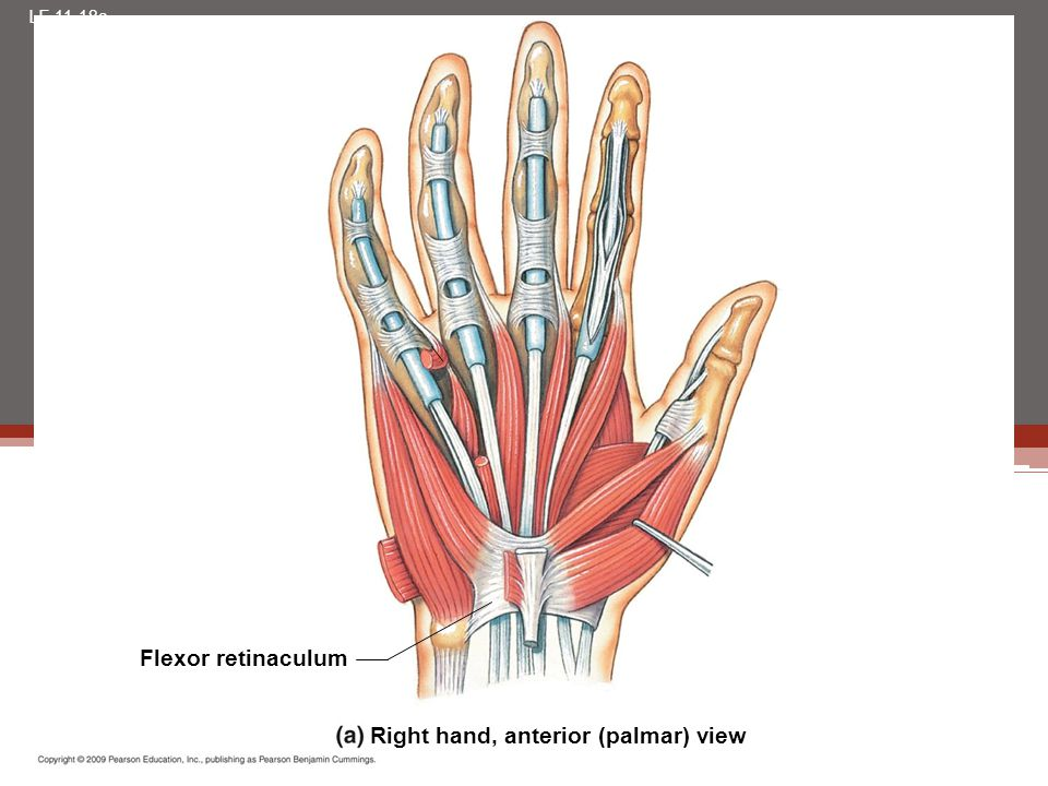 Right hand, anterior (palmar) view