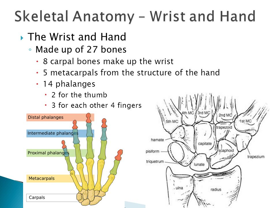 Hand skeletal anatomy