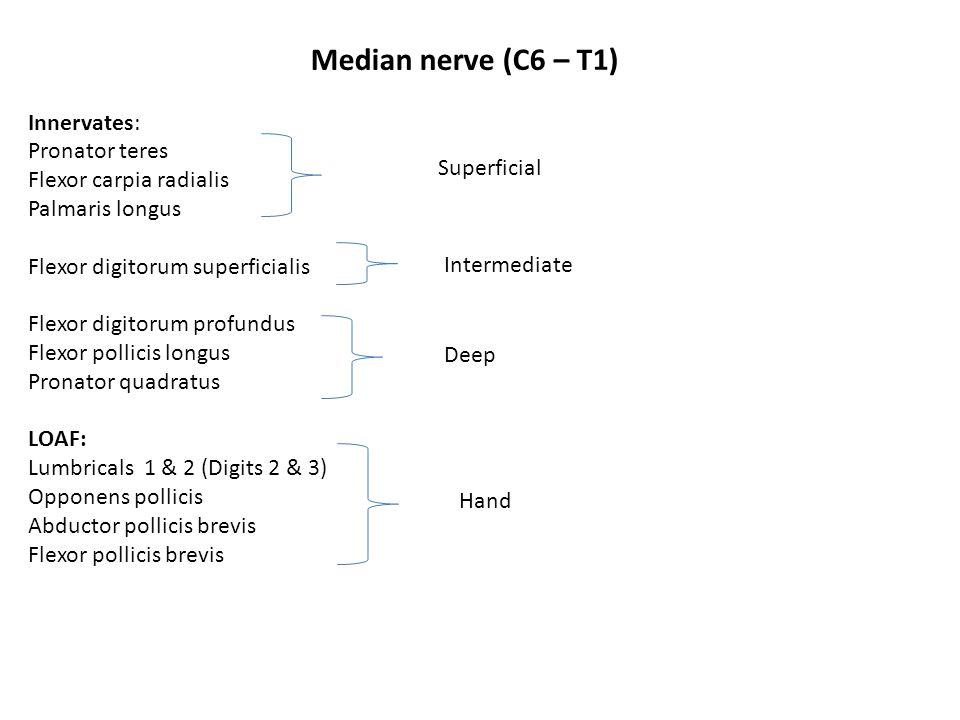 Median nerve (C6 – T1) Innervates: Pronator teres