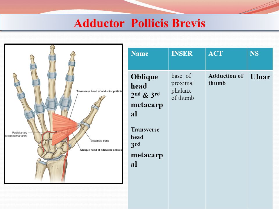 Adductor Pollicis Brevis
