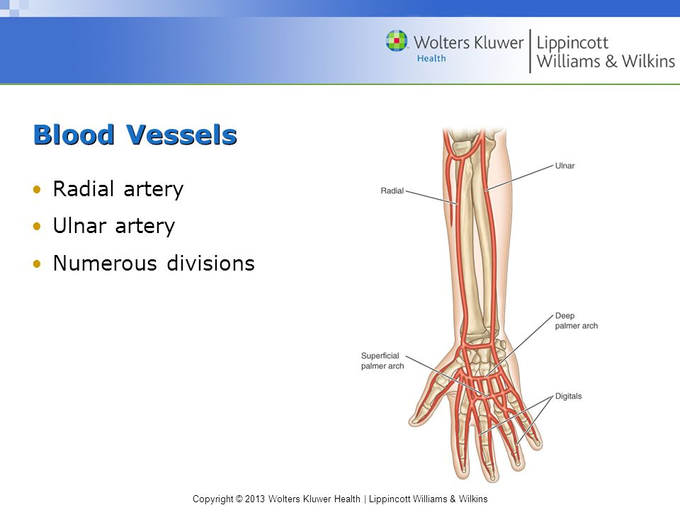 Blood Vessels Radial artery Ulnar artery Numerous divisions