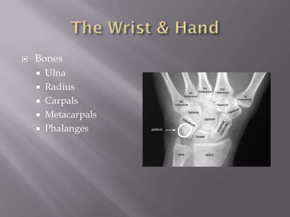 The Wrist & Hand Bones Ulna Radius Carpals Metacarpals Phalanges
