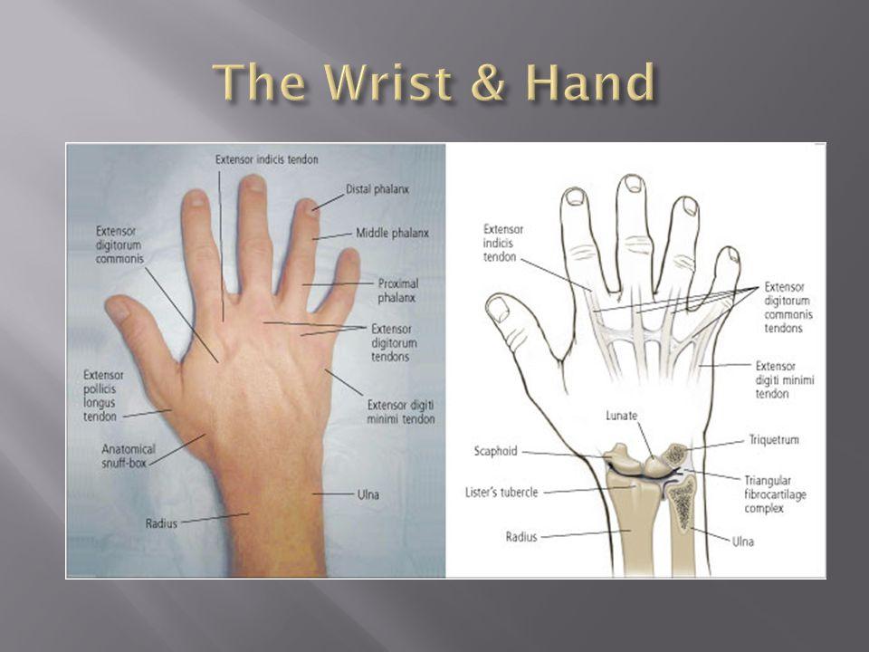 The Wrist & Hand