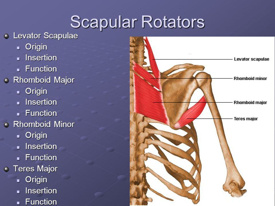 Scapular Rotators Levator Scapulae Origin Insertion Function