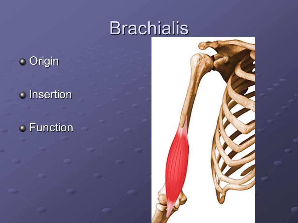 Brachialis Origin Insertion Function