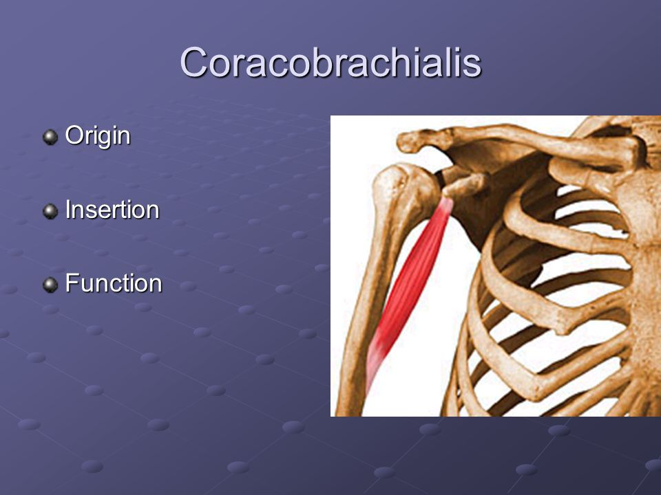 Coracobrachialis Origin Insertion Function