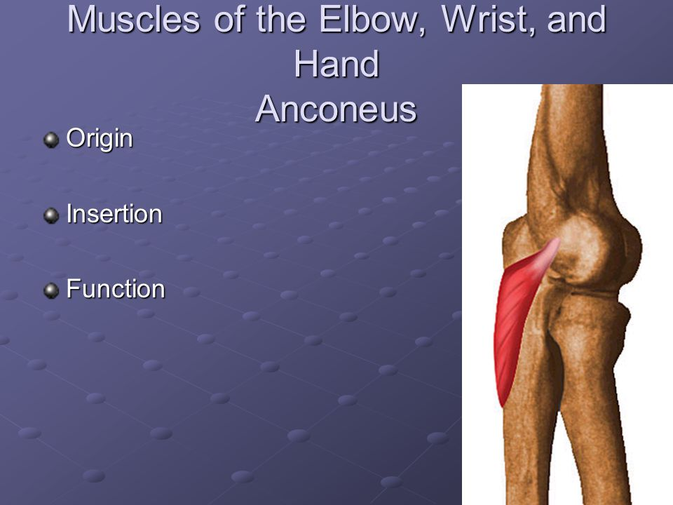 Muscles of the Elbow, Wrist, and Hand Anconeus