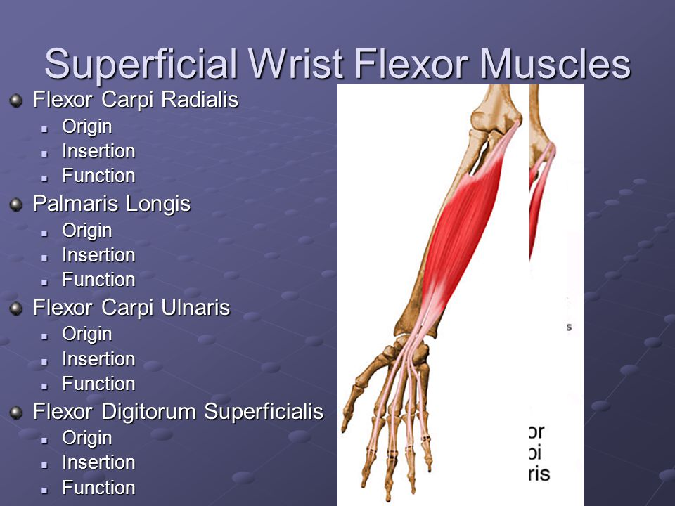 Superficial Wrist Flexor Muscles