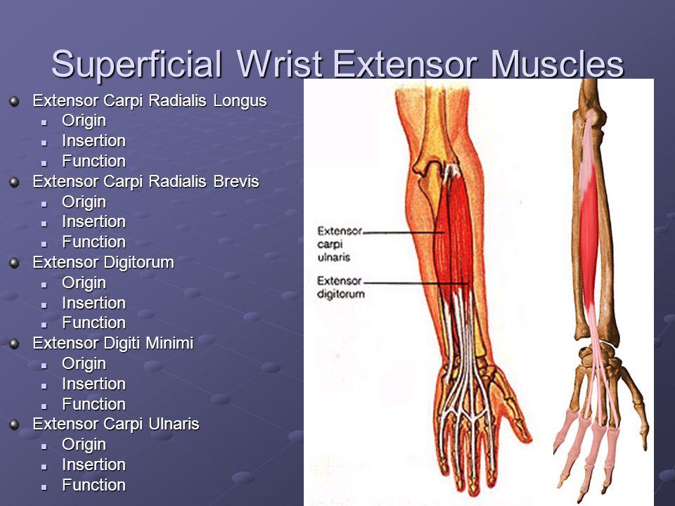 Superficial Wrist Extensor Muscles