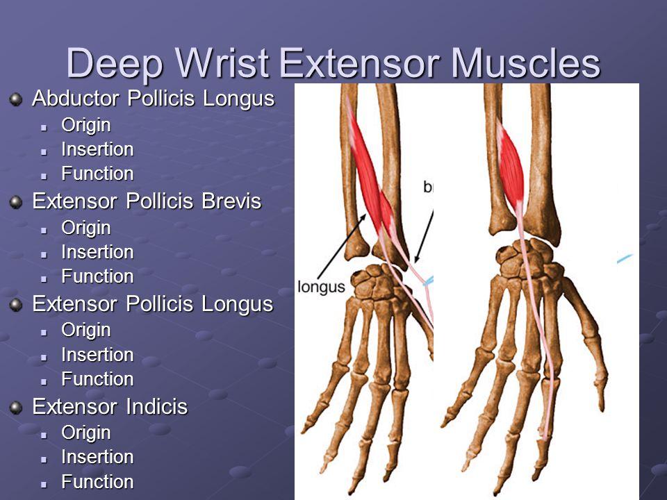 Deep Wrist Extensor Muscles
