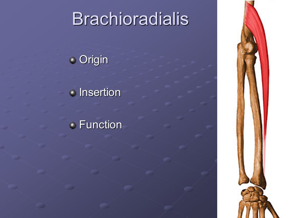 Brachioradialis Origin Insertion Function