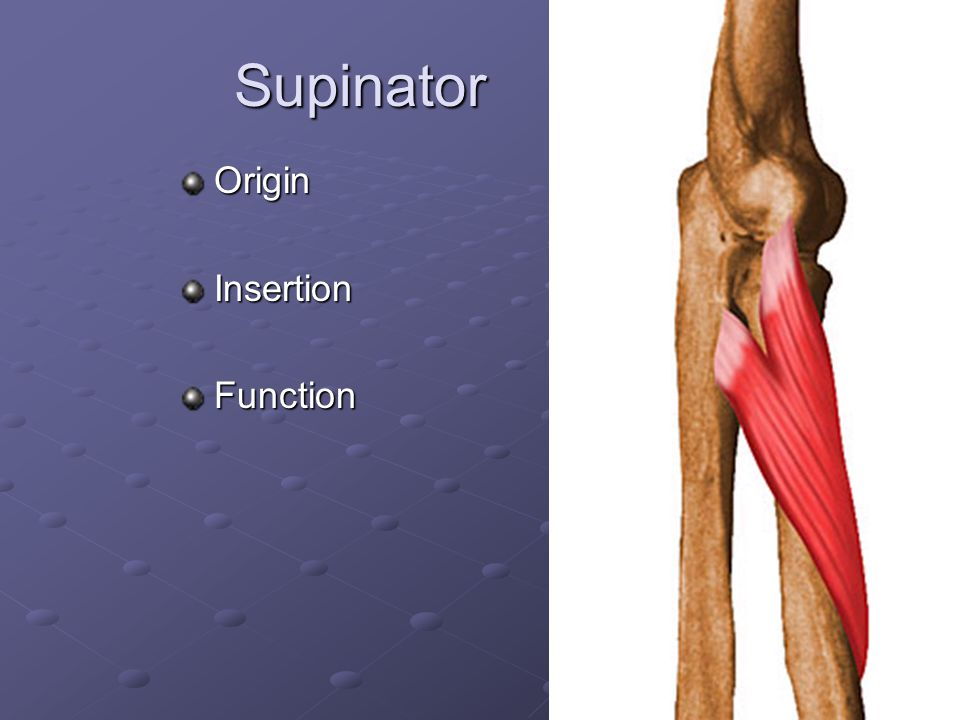 Supinator Origin Insertion Function