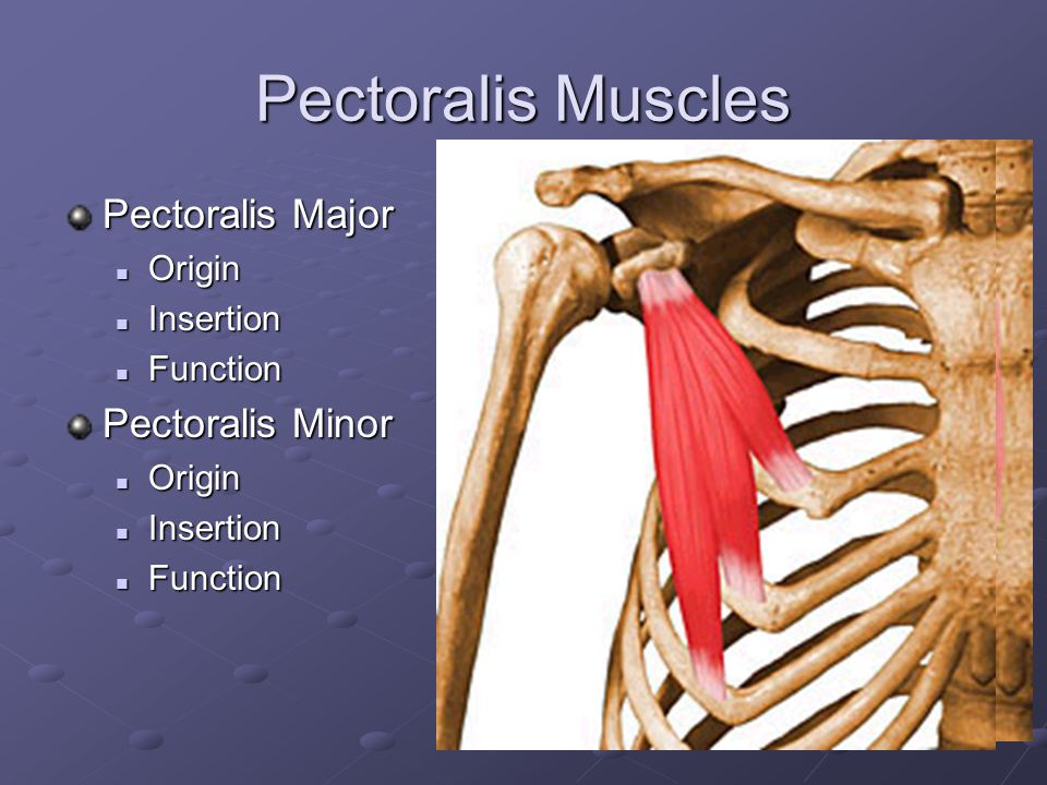 Pectoralis Muscles Pectoralis Major Pectoralis Minor Origin Insertion