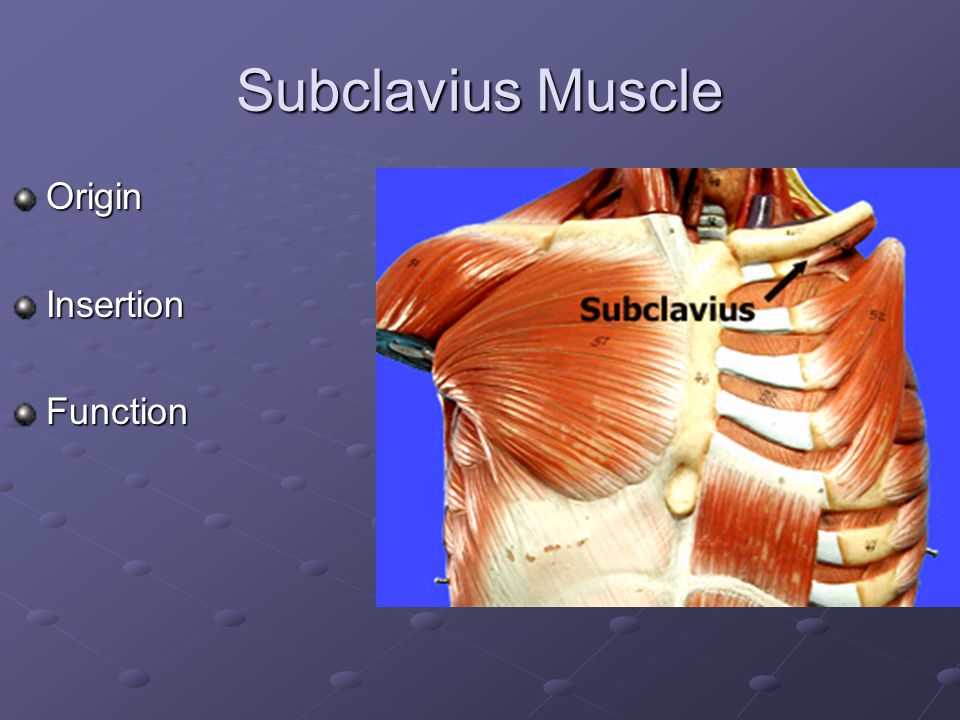 Subclavius Muscle Origin Insertion Function