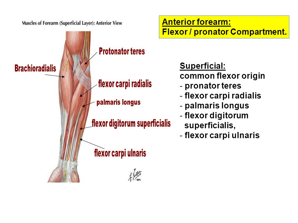 anterior forearm essay View essay - the forearm from nas 161/162 at northern virginia community college the forearm the forearm, mostly common known as the lower arm, is divided into two compartments (a ventromedial or.