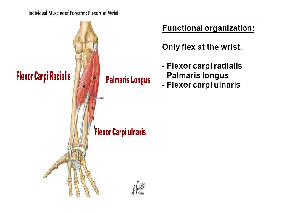Functional organization: Only flex at the wrist. Flexor carpi radialis