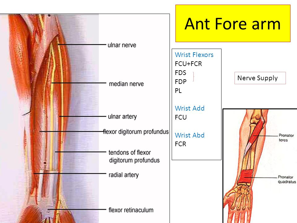 Ant Fore arm Wrist Flexors FCU+FCR FDS FDP PL Nerve Supply Wrist Add