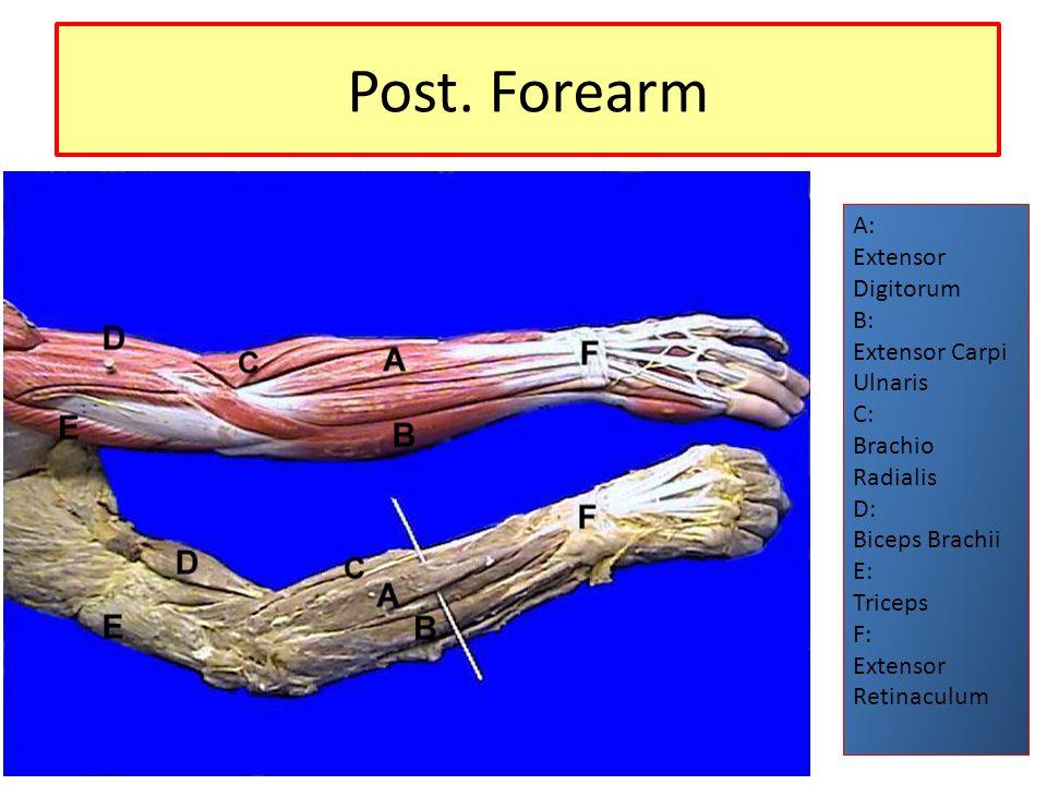 Post. Forearm A: Extensor Digitorum B: Extensor Carpi Ulnaris C: