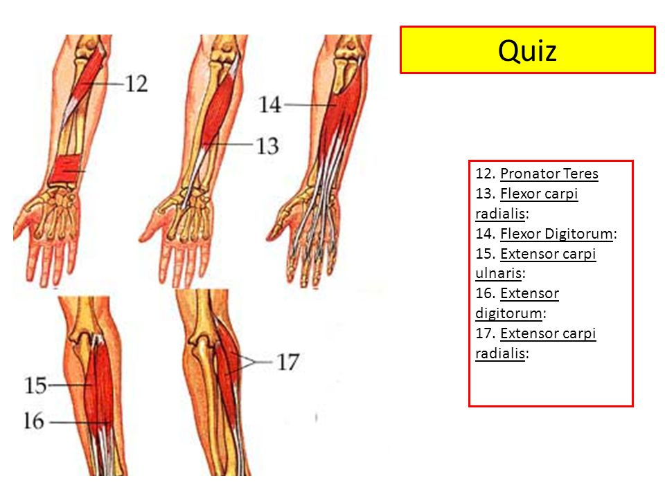 Quiz 12. Pronator Teres 13. Flexor carpi radialis: