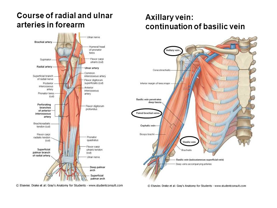 Course of radial and ulnar arteries in forearm
