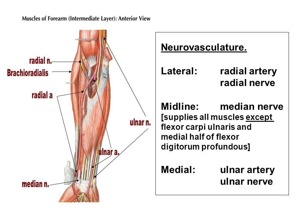 Lateral: radial artery radial nerve Midline: median nerve
