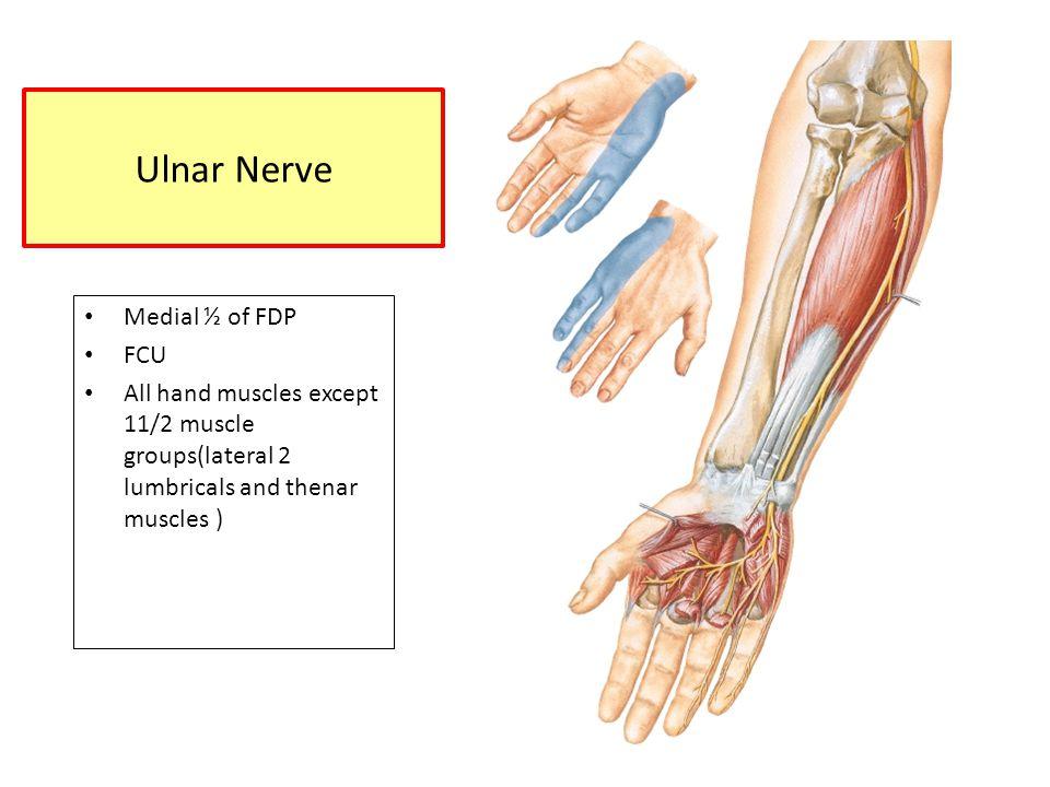 Ulnar Nerve Medial ½ of FDP FCU