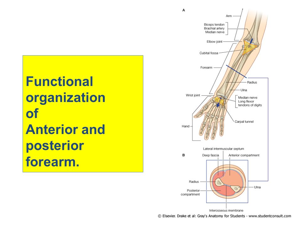 Functional organization of Anterior and posterior forearm.