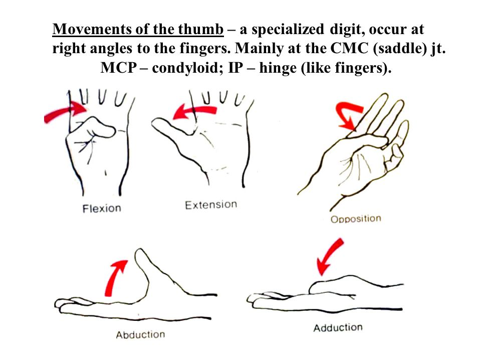 Movements of the thumb – a specialized digit, occur at