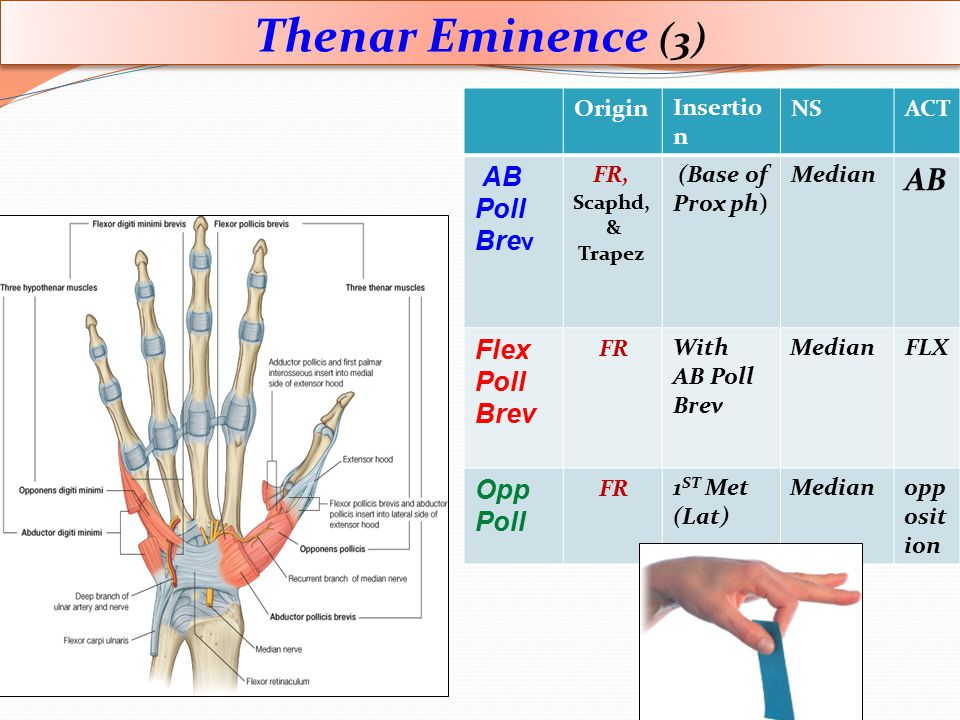 Thenar Eminence (3) AB Poll Brev Flex Poll Opp ACT NS Insertion Origin