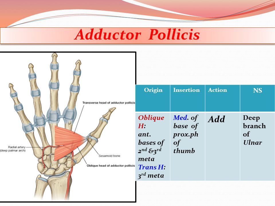 Adductor Pollicis Add NS Deep branch of Ulnar Med. of base of prox.ph