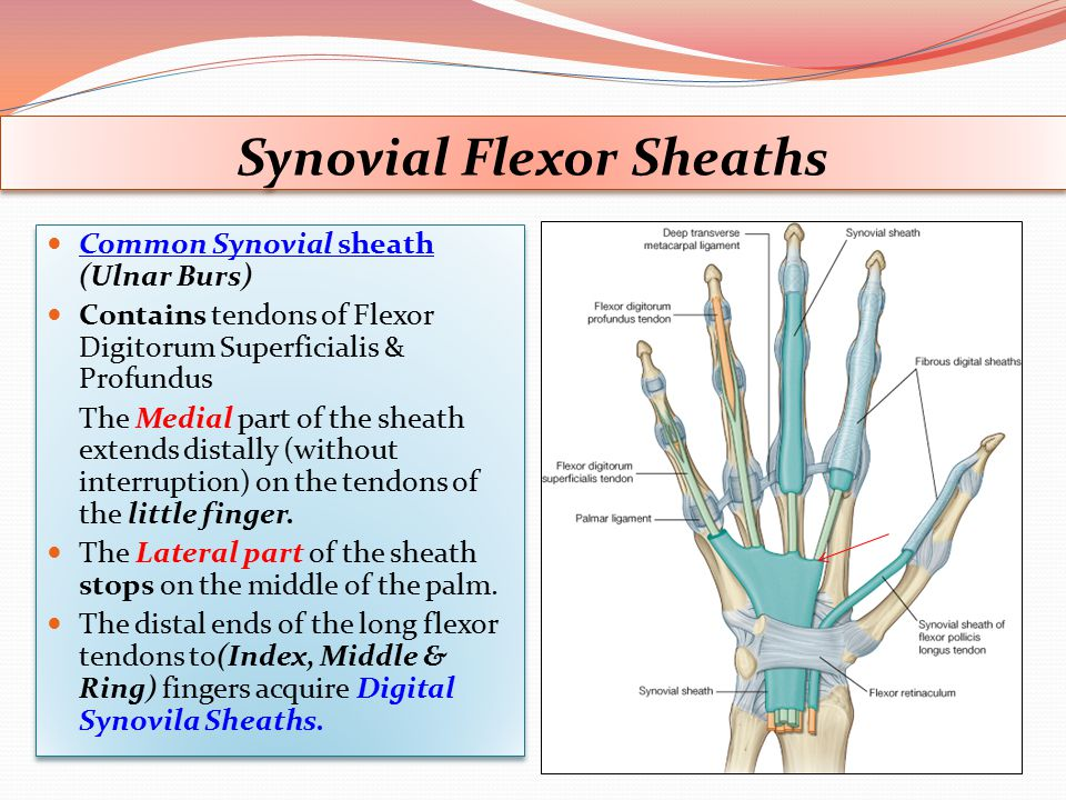 Synovial Flexor Sheaths