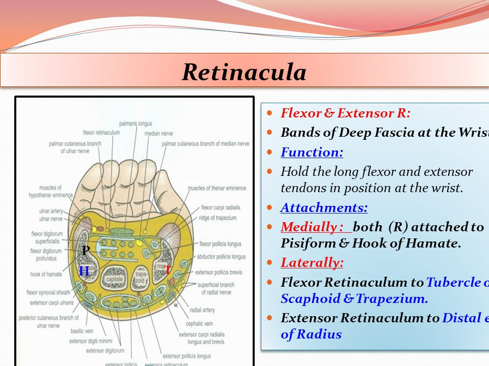 Retinacula Flexor & Extensor R: Bands of Deep Fascia at the Wrist.